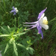 Columbines (Colorado's state flower) were all up and down the trail